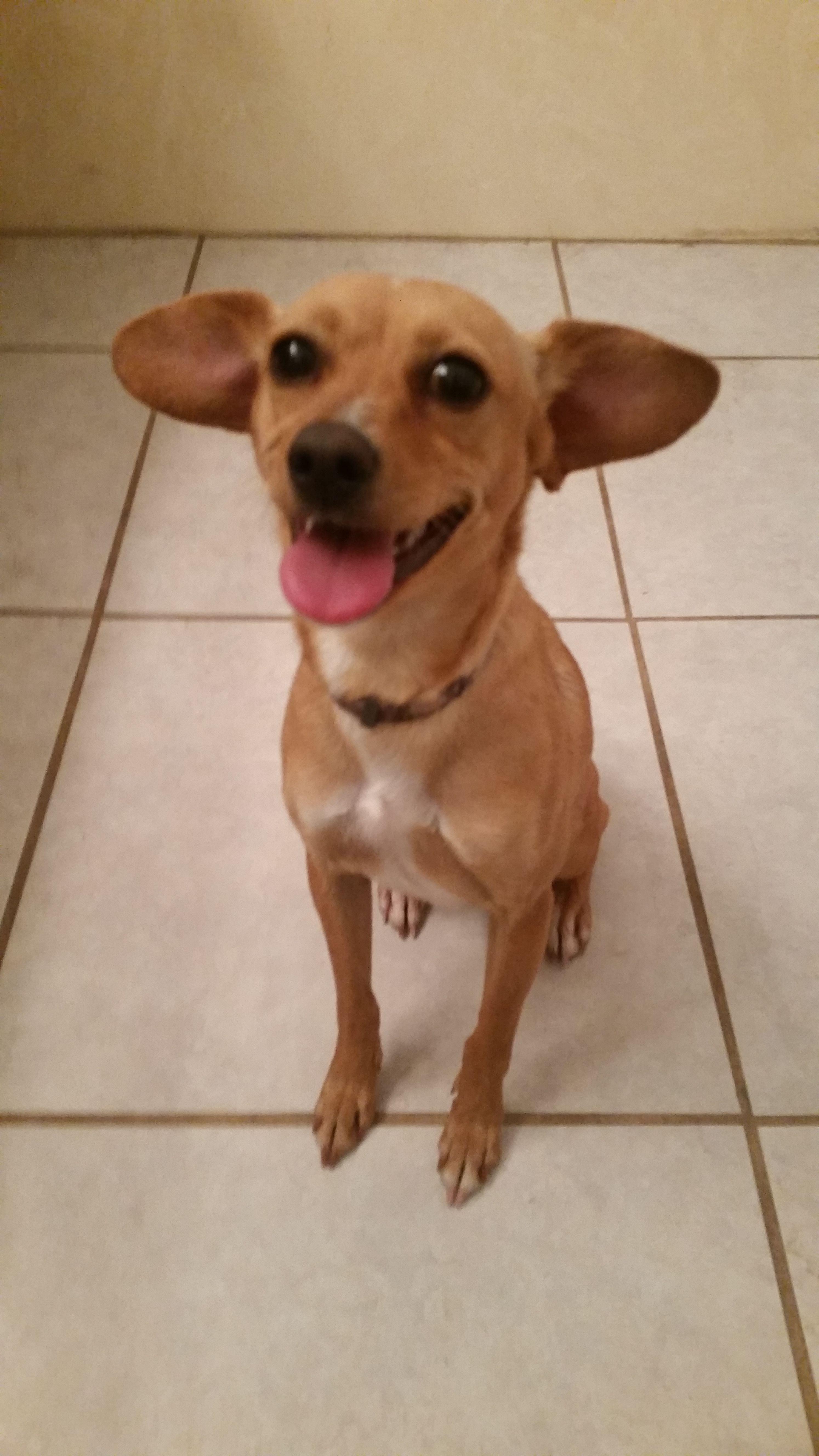 Chiweenie Dog For Adoption In Orlando Fl Adn 450311 On