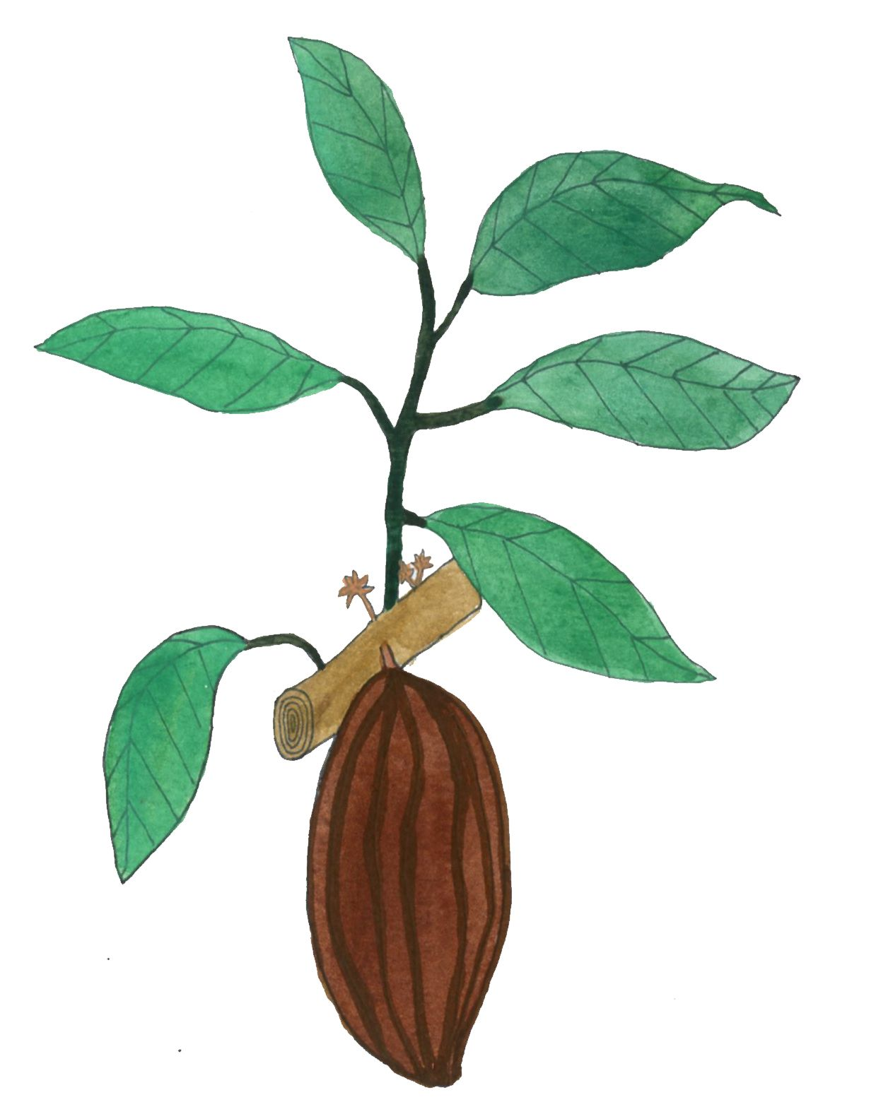 cocoa plant | Illustrating Foragers | Pinterest