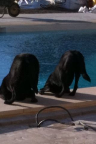 Two thirsty Labradors