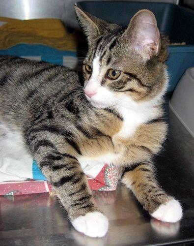 Bengal Tabby Cat Mix Tabby Mix Older Kitten Bengal Cat Tabby