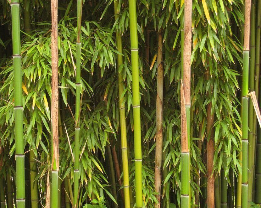 Phyllostachys aureosulcata bambu verde perenne - Seto de bambu ...