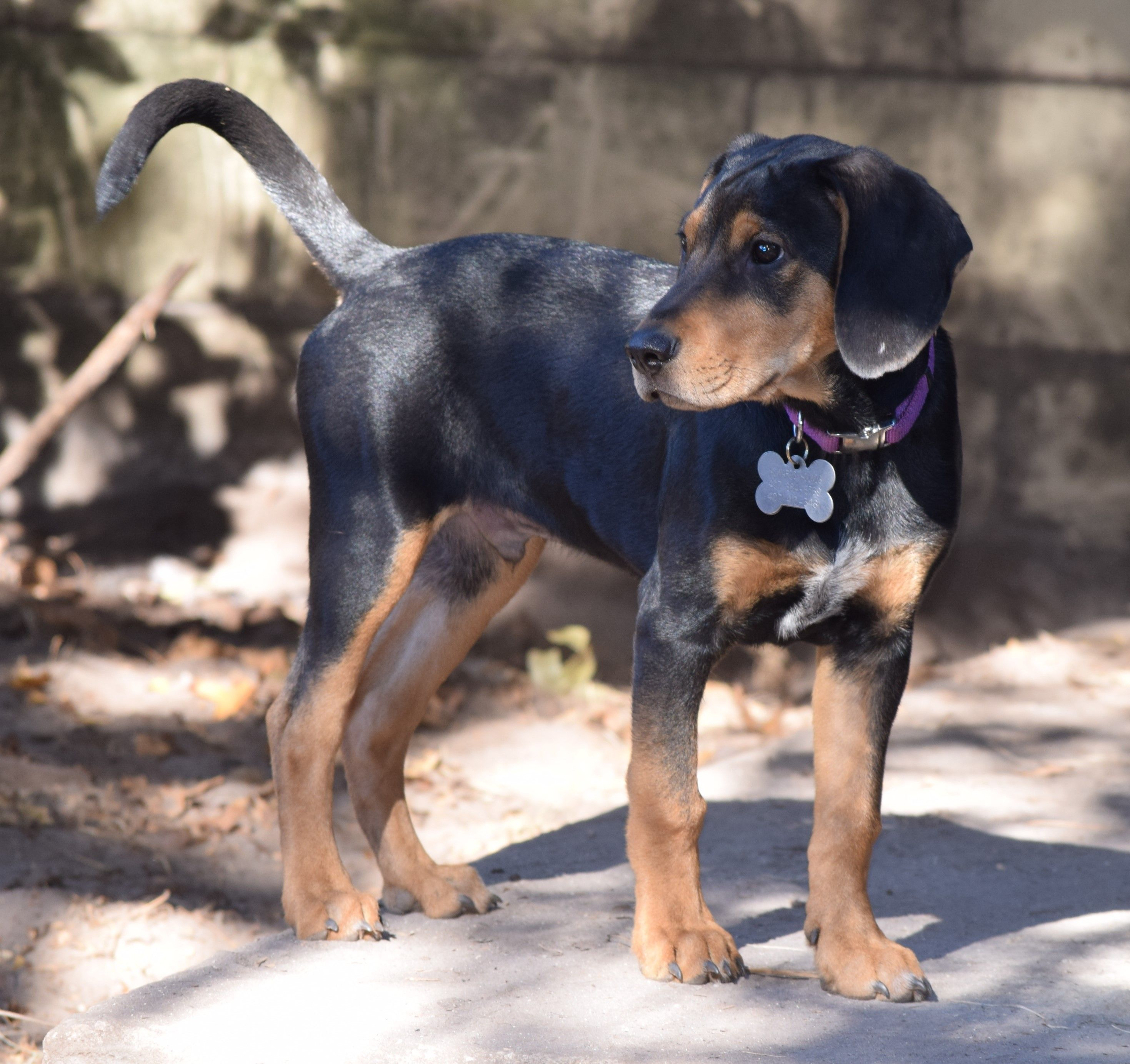 Black and Tan Coonhound dog for Adoption in Orlando, FL