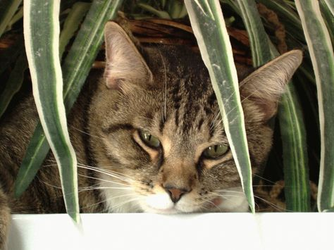 Ever notice your cat repeatedly entering and leaving the litter box without doing its business? Constipation could be the problem. Here are some home remedies that may provide relief.
