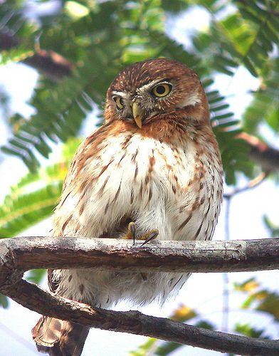 CUBAN PYGMY OWL Glaucidium siju@@