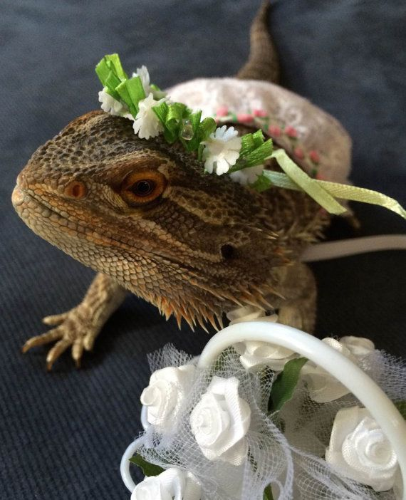 image result for bearded dragon halloween costumes