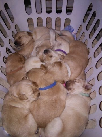 Litter Of 9 Golden Retriever Puppies For Sale In Middleburg Va