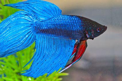 Betta Fish Make Great Classroom Pets Petsintheclassroom Betta
