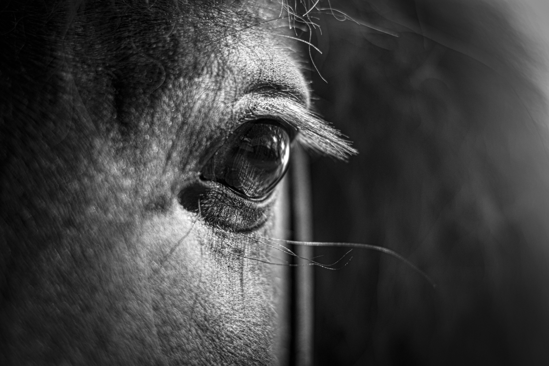 Schwarz Weiß Fotografie Islandpferd Detailaufnahme Auge Pferde Fotografie Pferde Hintergrundbilder Schwarz Weiß