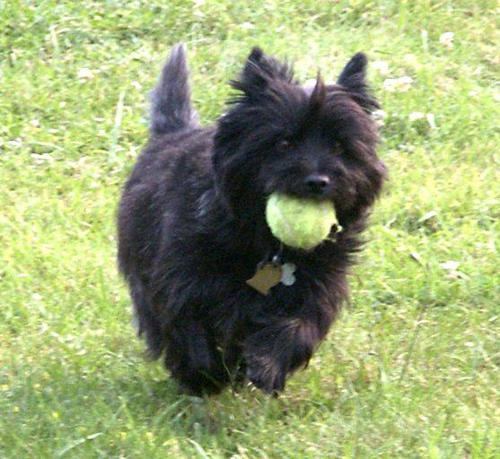 Top Cairn Terrier Ball Adorable Dog - bf8422473ffd358a2cdadeda3f9e3605  Snapshot_43848  .jpg