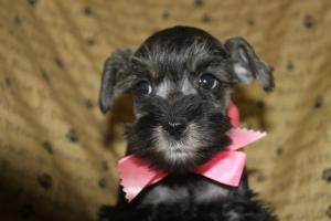 Minature Schnauzer Puppies For Sale In Shippensburg Pa Http Www Network34 Com Dogsbreed M Miniature Schnauzer Puppies Minature Schnauzer Schnauzer