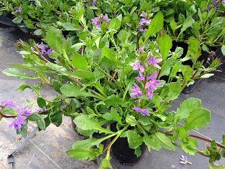 Scaveola aemula | Evergreen Nursery