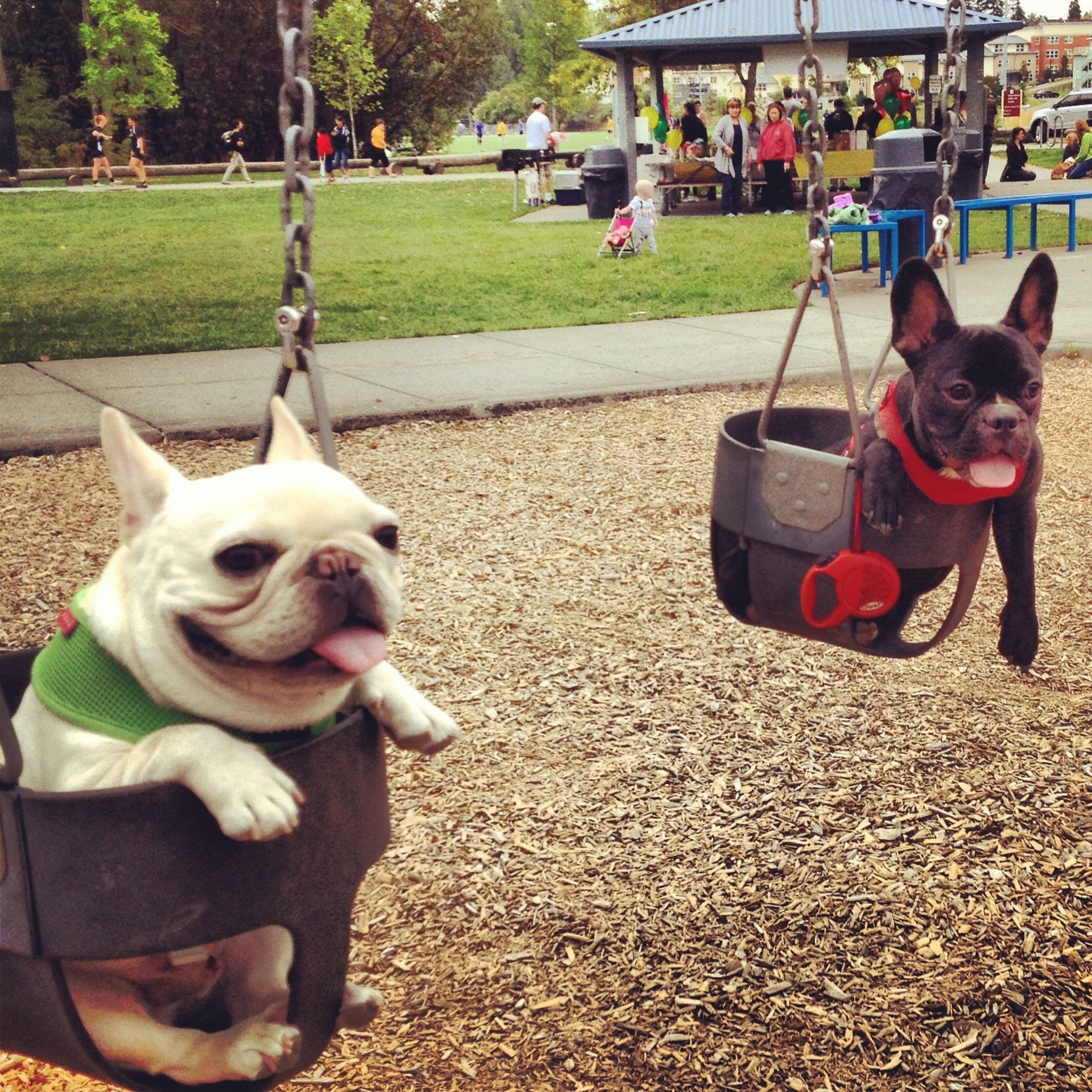 Russell The Frenchie Barkley Sir Charles French Bulldog I