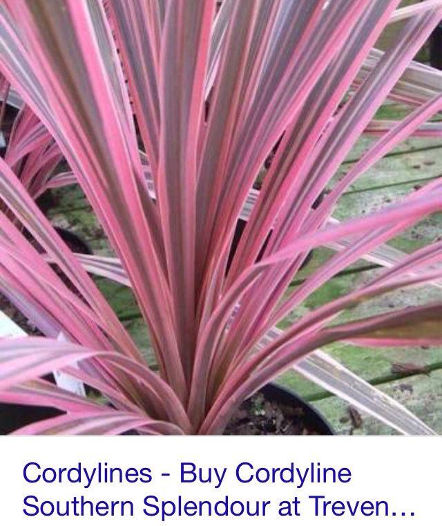 Cordylines Pool Side Plants Palm House Plants Plants Backyard Plants