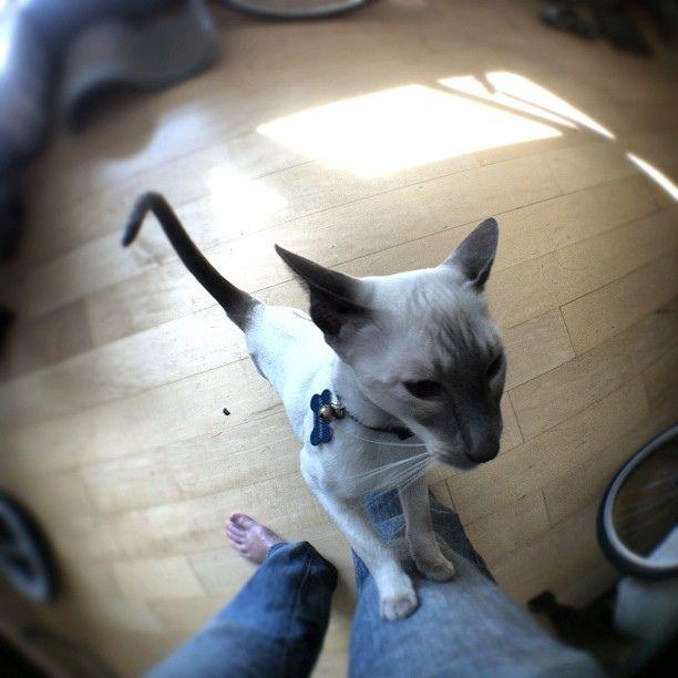The Ethos Of Downtown Cincinnati Siamese Cats Oriental Cat Siamese Kittens