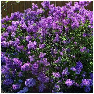 Bloomerang Purple Lilac Bloomerang Lilac Flowering Shrubs Fragrant Flowers