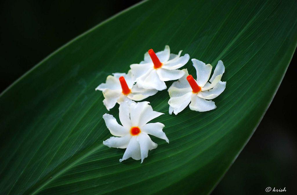 Pavizhamalli Night Jasmine Coral Jasmine പവ ഴമല ല