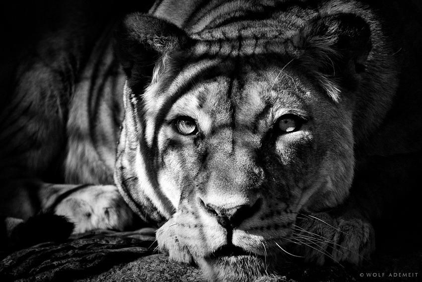 ademeit photo   Retratos animais de Wolf Ademeit   Dicas de Fotografia   iPhoto ...