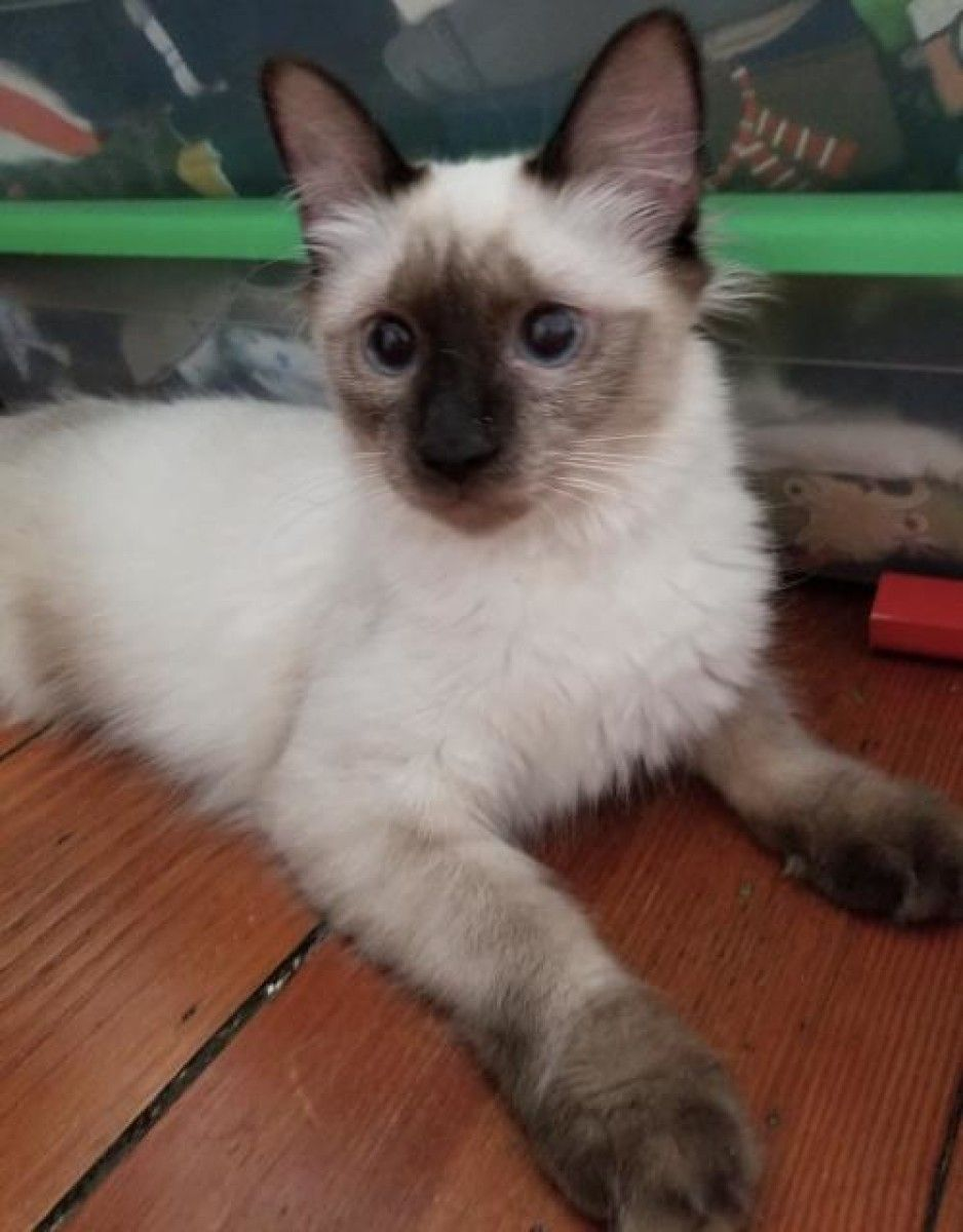Livia Siamese, Balinese Cat for Adoption in Philadelphia