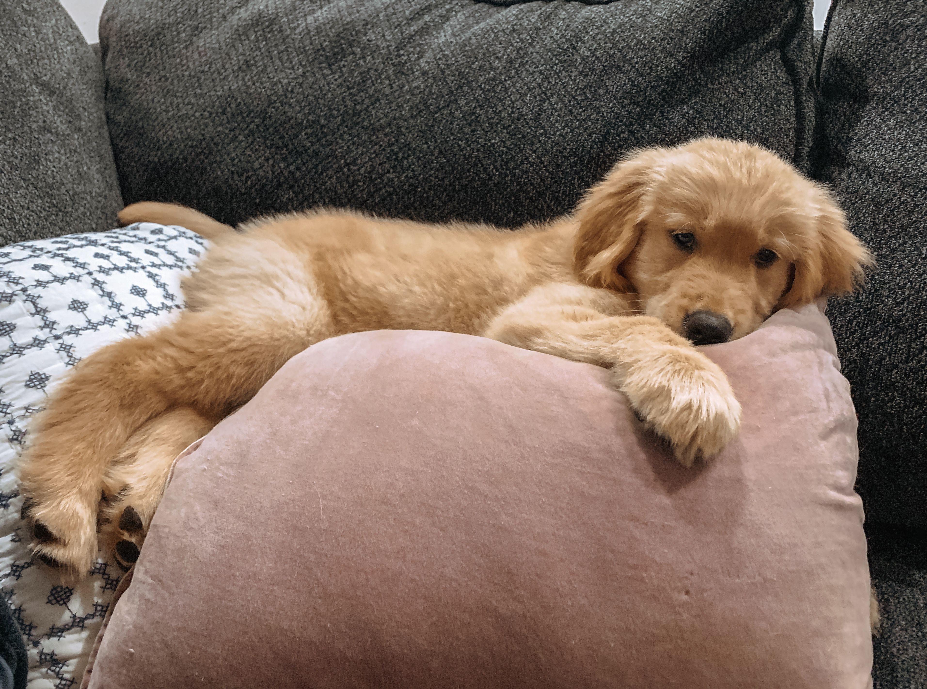 Cute Golden Retriever Puppy P U P Retriever Puppy Puppies