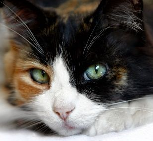 This is a Calico Cat.  Beautiful markings and colors.