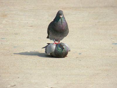 Pigeon planking.