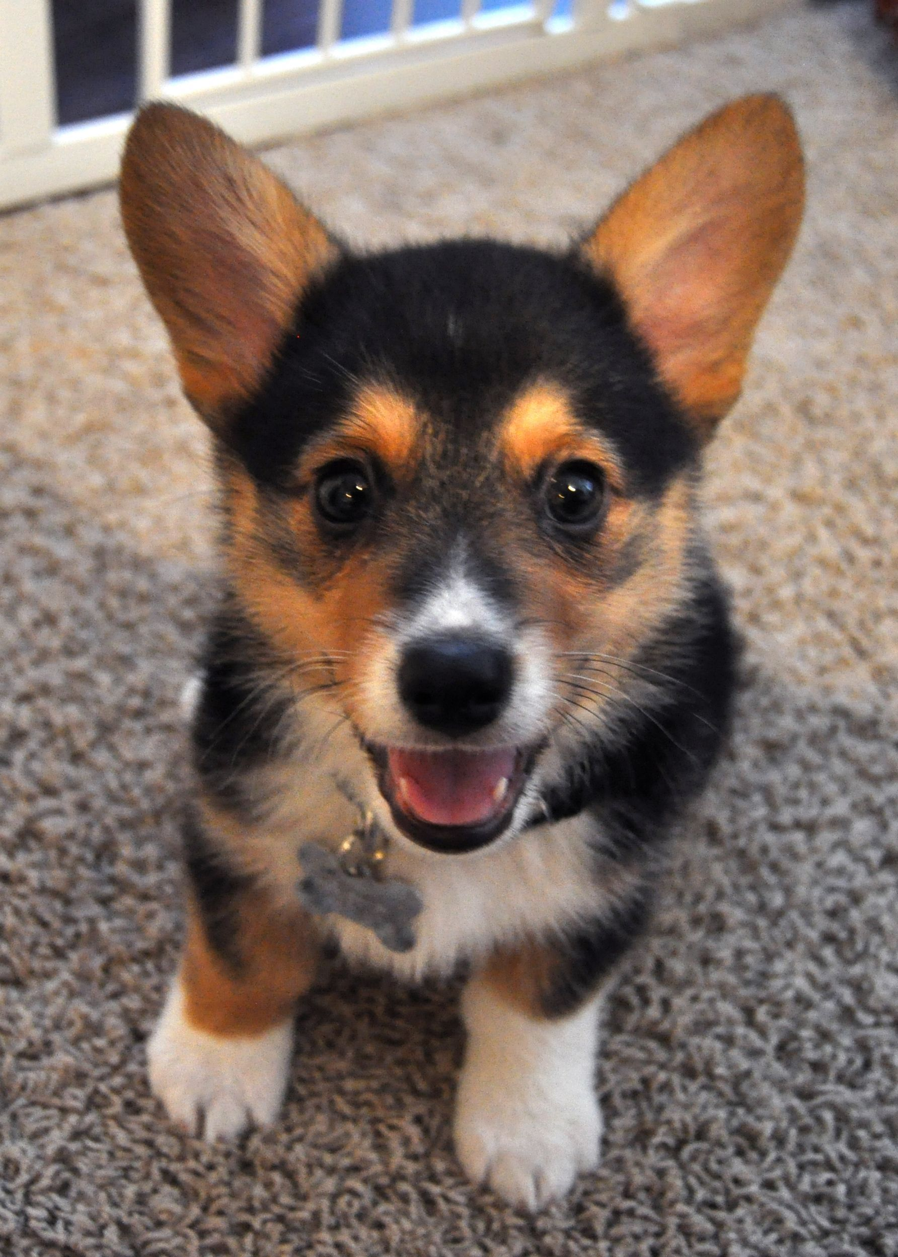 This Is My Corgi Puppy Pancake Corgi Puppies Kitties Cute