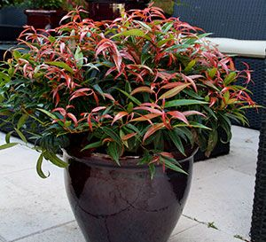 Characterized by its compact, upright, shrubby plant habit with short internodes, its fine, narrow leaves, and its immature shoots that are red in color that mature to a green color in summer and turn purple in fall through winter.