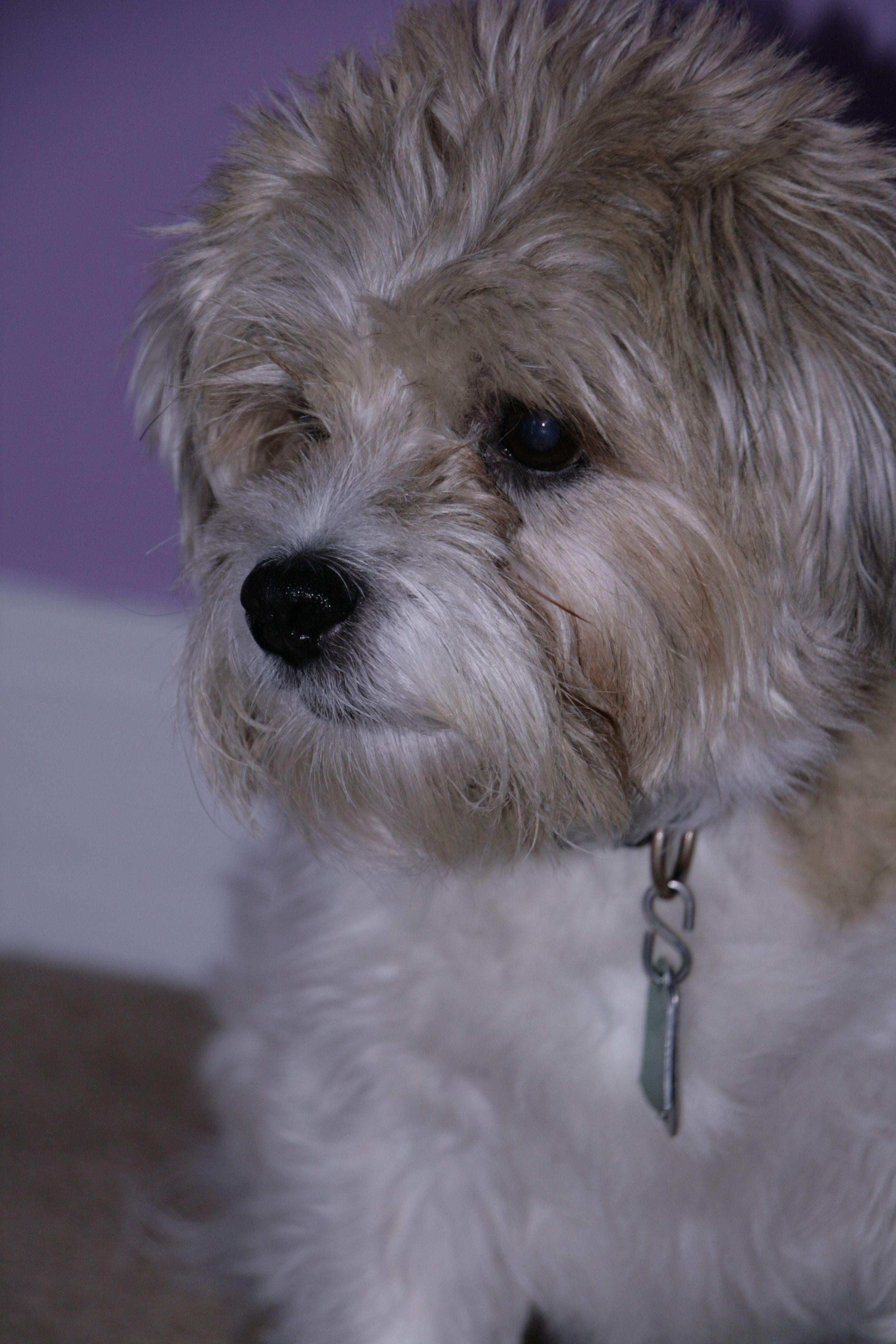 Shih Tzu Jack Russell Terrier Shih Tzu
