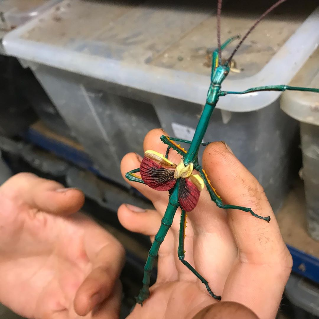Bugzuk On Instagram This Stunning Stick Insect Is Achrioptera