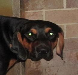 08 Forrest Is An Adoptable Doberman Pinscher Dog In Canton Oh