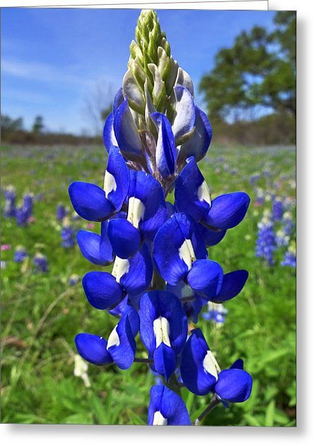 Texas Bluebonnet The State Flower Of Texas Lupinus Texensis