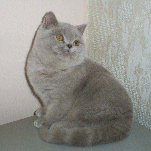 British Shorthair And Scottish Fold Cats Colors We Breed British Shorthair Cats British Shorthair Cat Scottish Fold