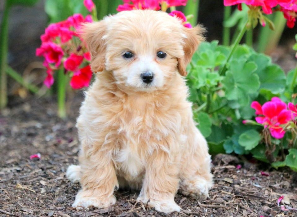 Cally maltipoo puppies for sale cavapoo puppies for