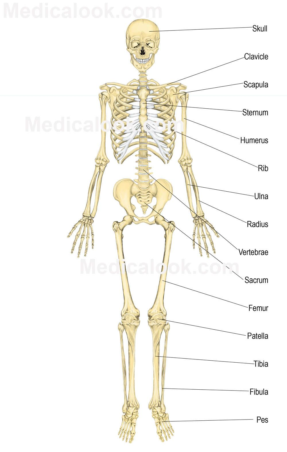 Human Anatomy Charts - Inner Body Anatomy, Muscle Anatomy, and ...