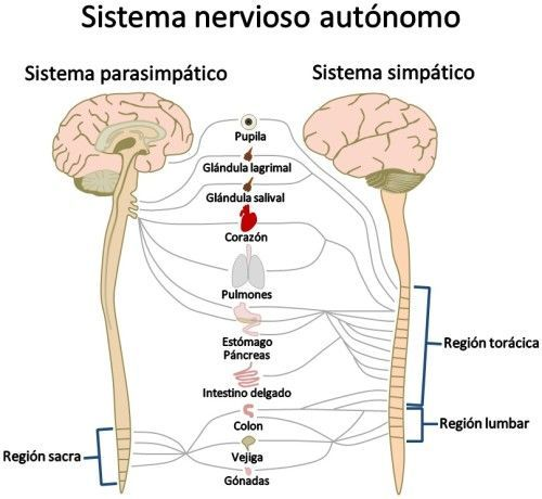 El sistema nervioso periférico está formado por el sistema nervioso ...