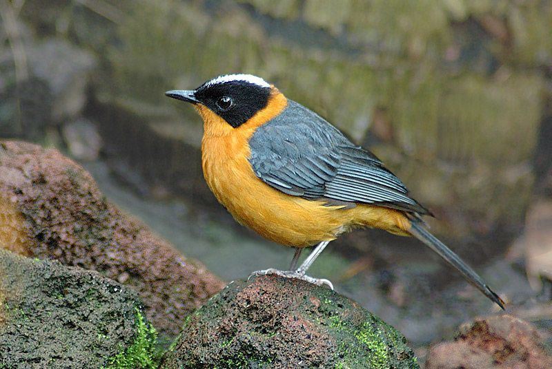 The Snowy Crowned Robin Chat Cossypha Niveicapilla Is A Species