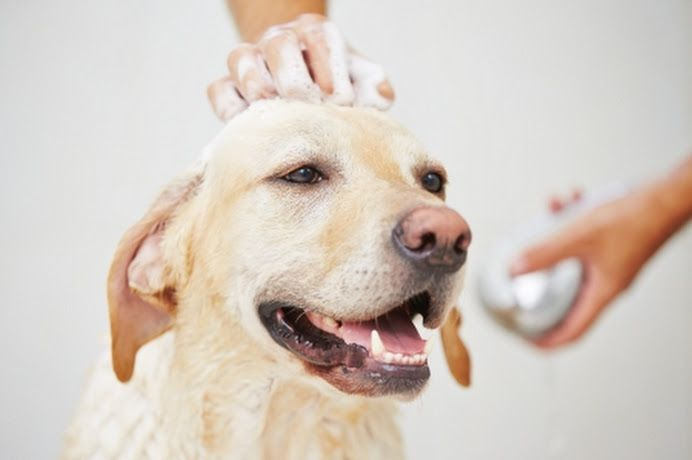 Likeable Pets Mobile Pet Grooming Singapore Google Best Dog Shampoo Dog Shampoo Dogs