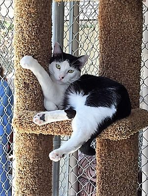 Pictures of Slim a Domestic Shorthair for adoption in Seal