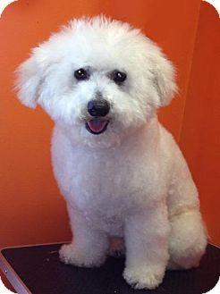 Madison Al Bichon Frise Mix Meet Archie A Dog For Adoption