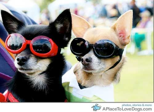 Two cool chihuahuas. aplacetolovedogs.com