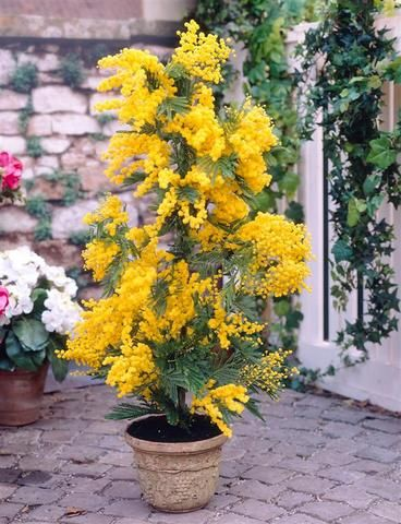 Mimosa Acacia Dealbata The Glory Of Gardening Trees To Plant