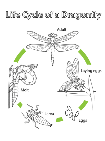 Life Cycle of a Dragonfly coloring page from Dragonfly