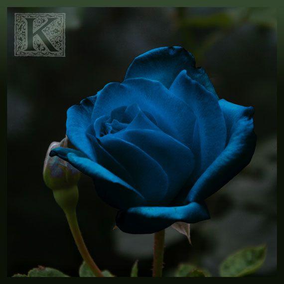 Blue Rose  Signed photo 8 X 8   BOGO sale  romantic by krystarka, $20.00