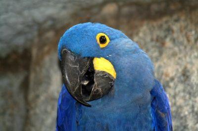 Как издават звуци папагалите?