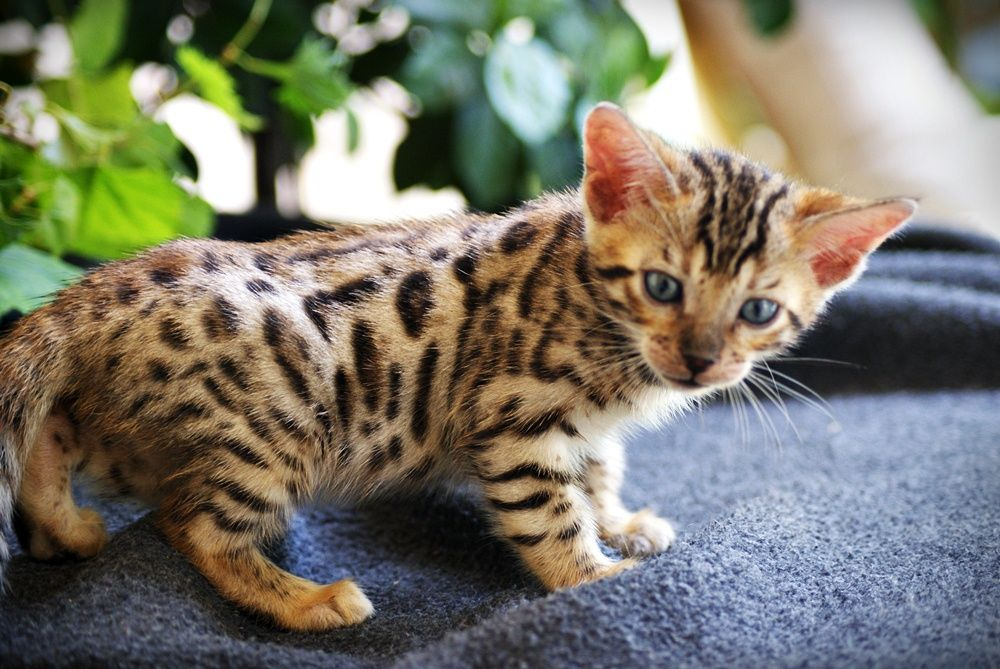 how to get a bengal cat