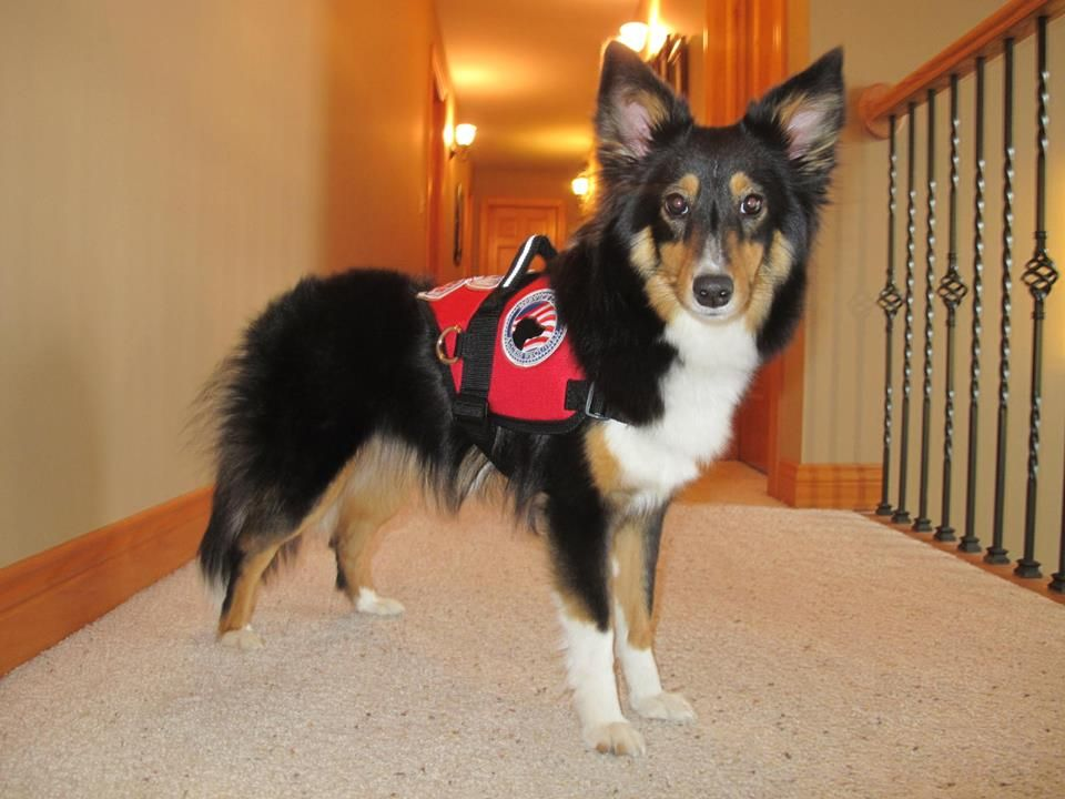 Shelties make wonderful Service Dogs they love to work