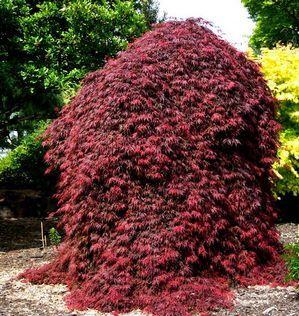 Acer Palmatum Dissectum Orangeolaorangeola Weeping Japanese Maple