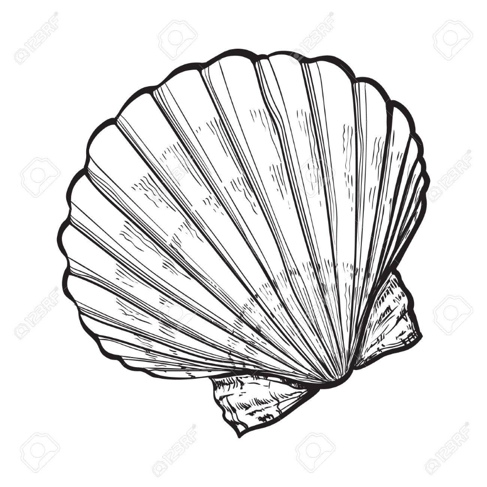 Stock Photo Shell Drawing Seashell Drawing How To Draw Hands