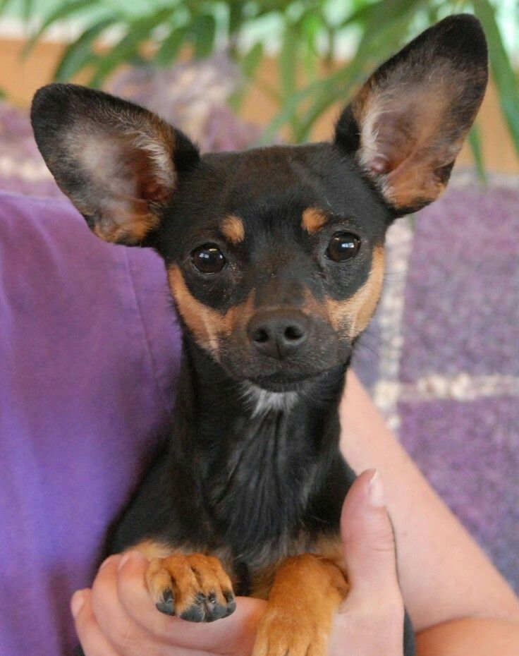 Designer dog breed called Chipin. Miniature pinscher and a