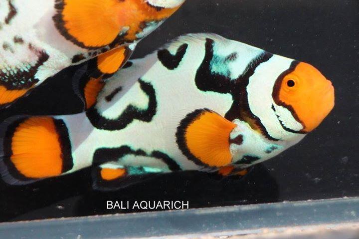 Pin By Ana Rebeca Sanchez On Animals Clown Fish Sea Fish Marine Fish